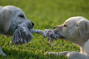 Puppies in a tug of war over a rope chew toy