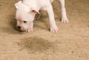 puppy pet urine stain