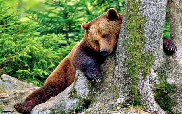 Urso Pardo (foto: es.naturewallpaperfree.com)