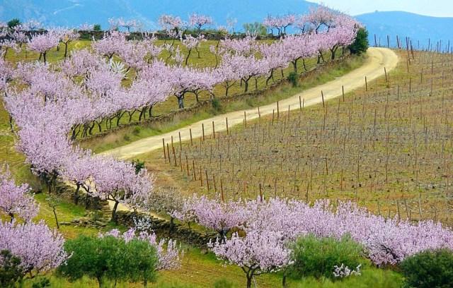Amendoeiras em Flor no Douro