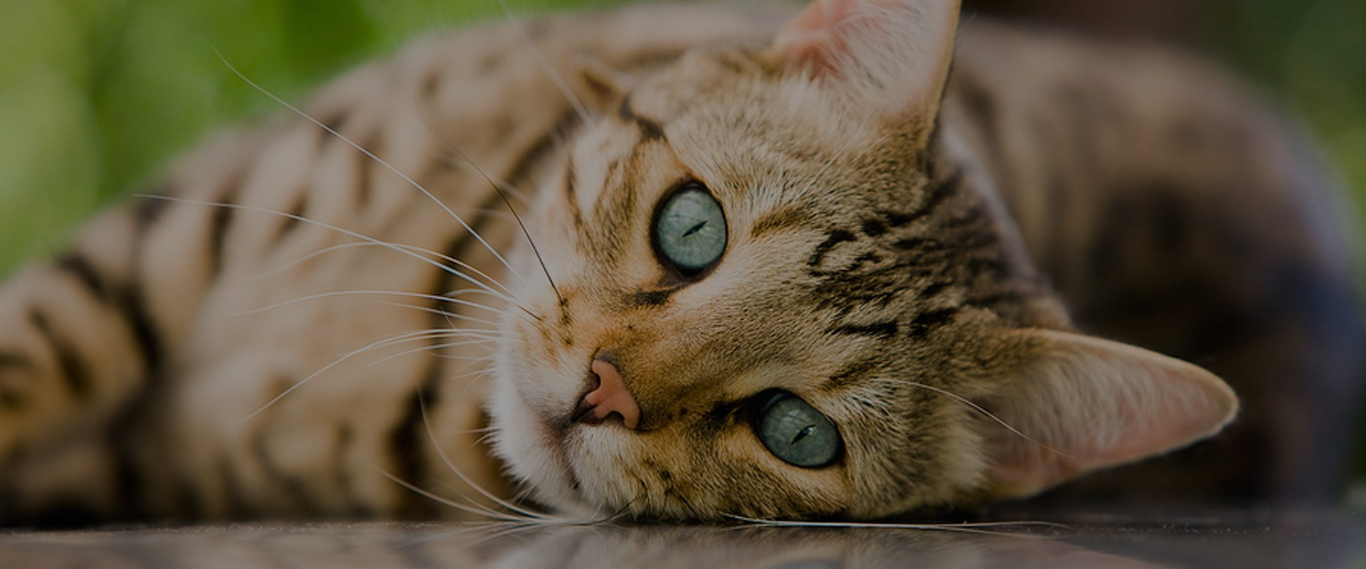 Veterinary Ophthalmology Services Animal Eye Care Clinics
