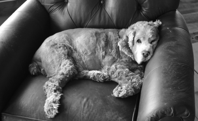 Gibson the Cocker Spaniel on his favorite chair