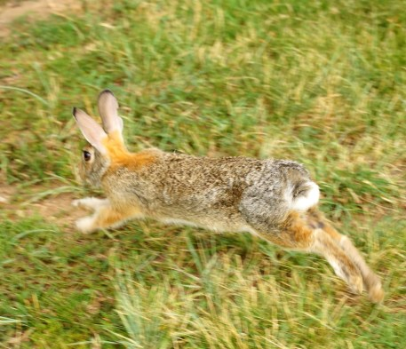 Image of a wild rabbit in grass.