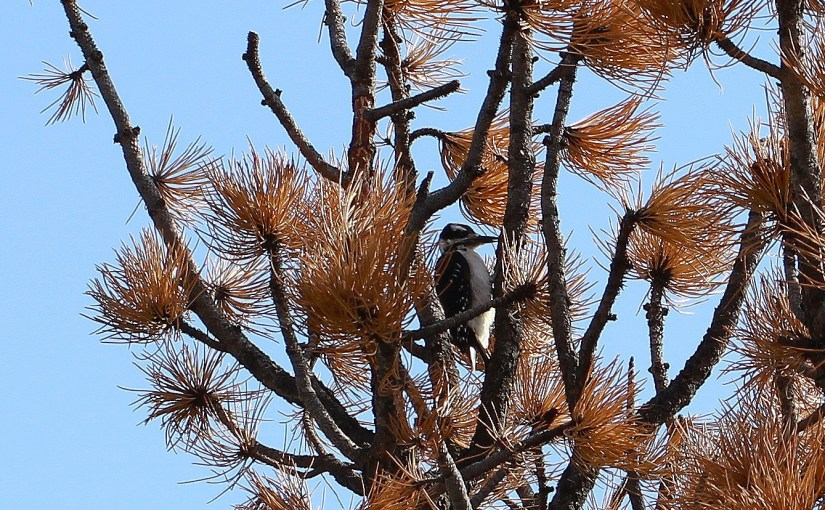<em>lil woodpecker</em>