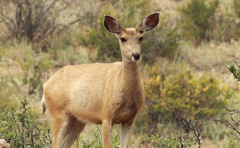 <em>deer</em>