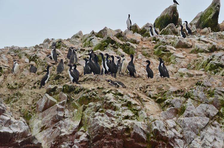 Des pingouins, en veux-tu? En voila !