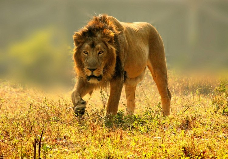 Big-5-Luxury-African-Safari-Lion