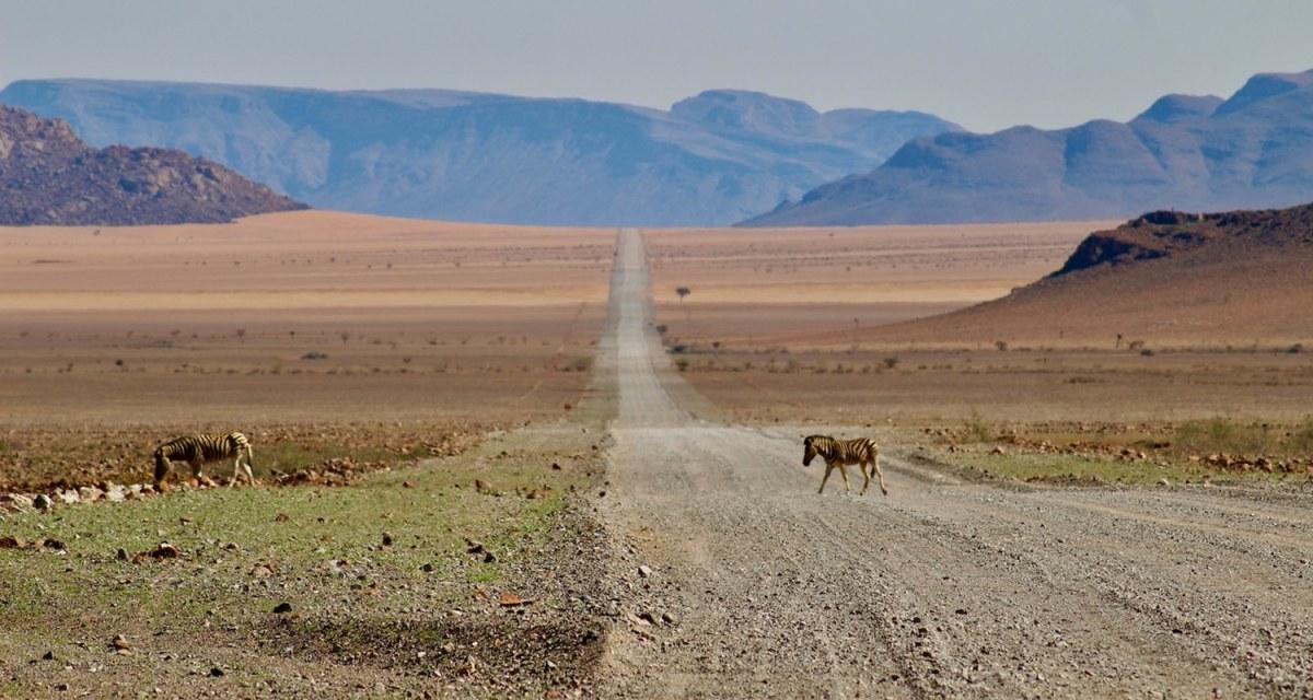 traversée de zèbres en namibie