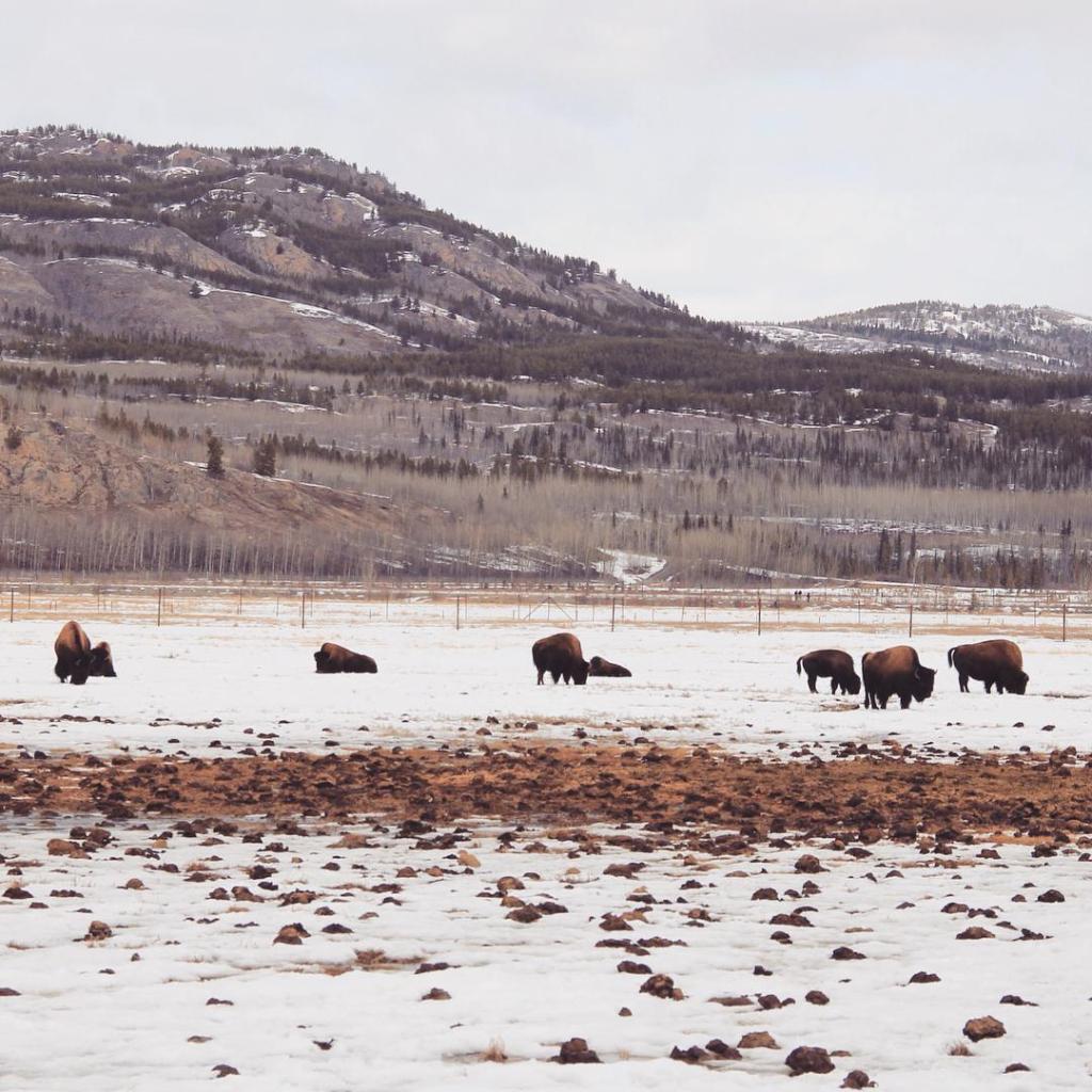 Yukon Wildlife Preserve: uma experiência animal no norte do Canadá