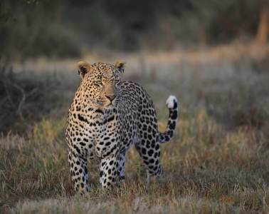 safari africa do sul leopardo