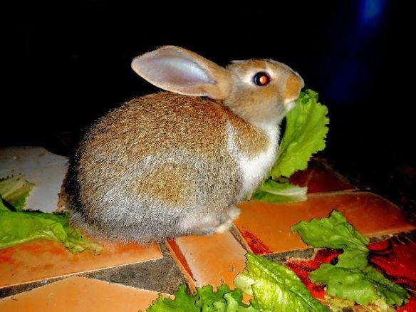 De petit lapins
