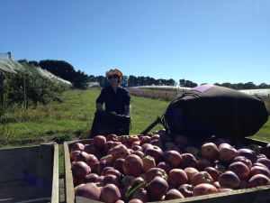 Fruit Picking _Clem - Australie