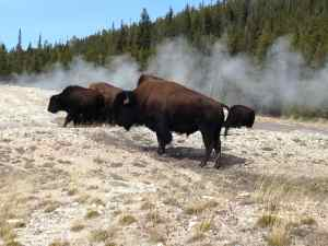 Bisons à Old Faithful - Yellowstone - USA - Octobre 2015