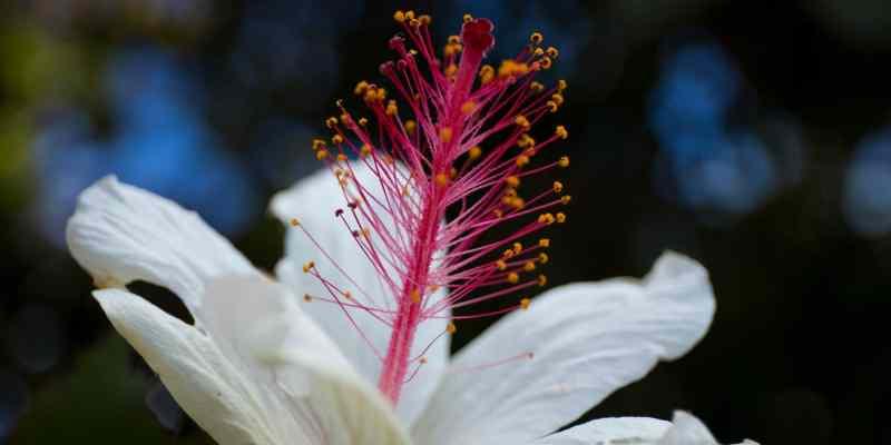 Fleur Hawaienne en gros plan