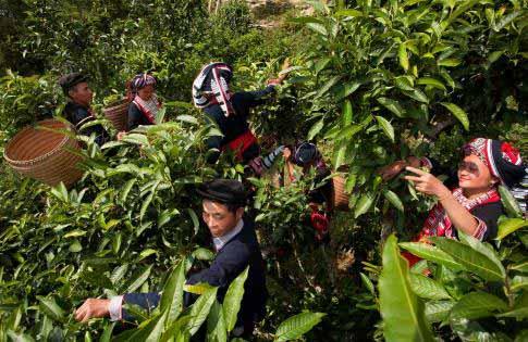 Champs de thé dans le Ha Giang, Vietnam