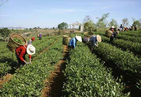 Champs de thé de Thai Nguyen - Vietnam