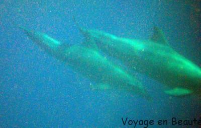 Maman et bébé dauphin au hasard d'une plongée !