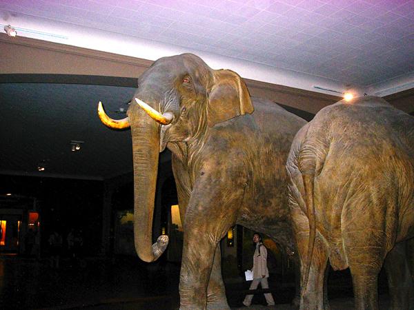 elephant-musee-histoire-naturelle-new-york