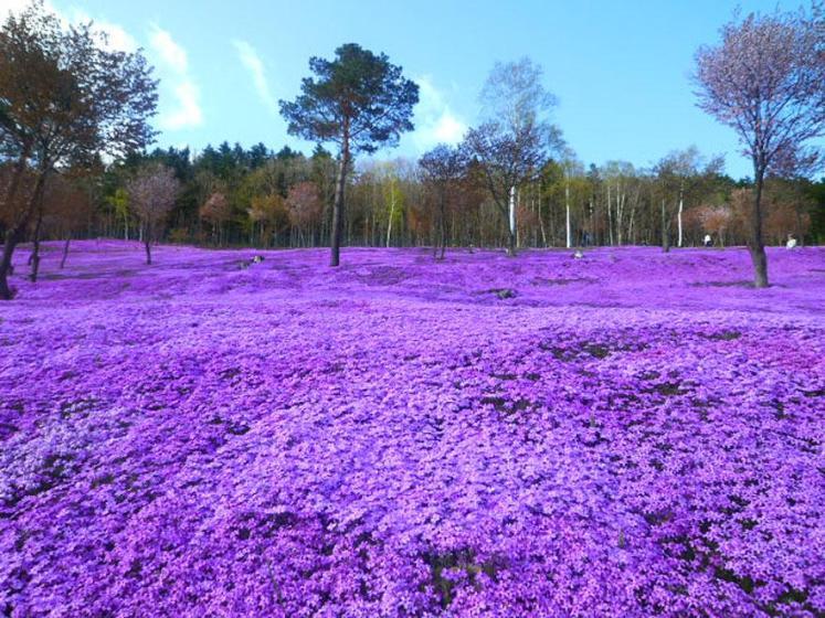 20. Shibazakura Flowers - Takinoue Park, Japan