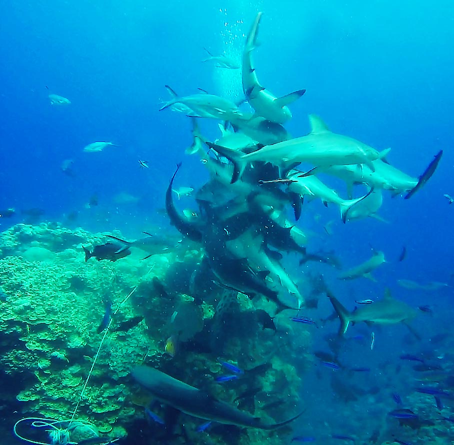 Shark Feeding Frenzy, Coral Sea, Australia - Taken by Diann Corbett, 09/2015.