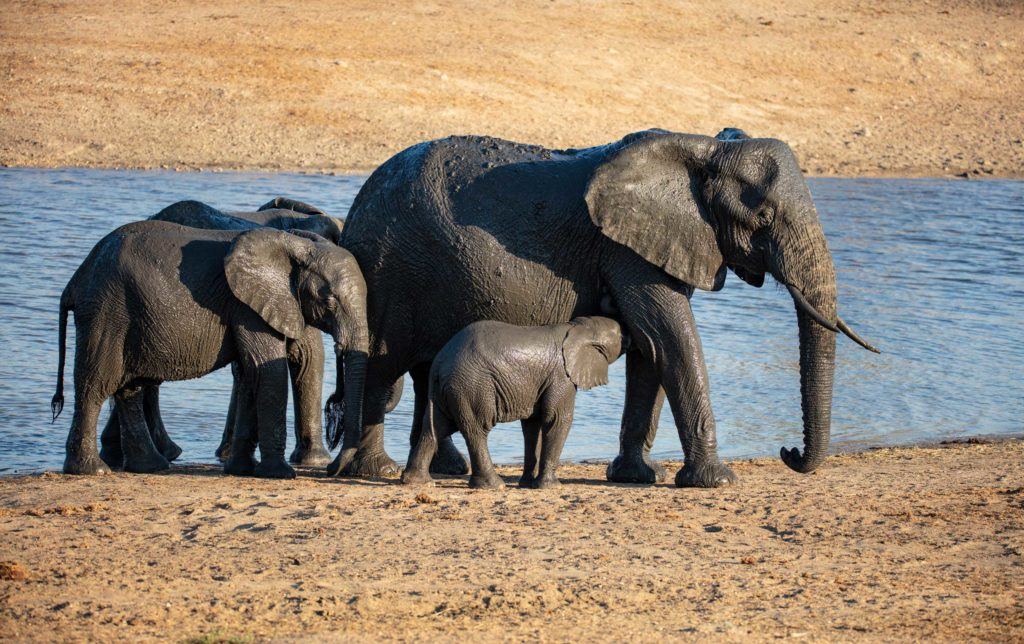 An elephant family at the watering hole in Kruger National Park, South Africa
