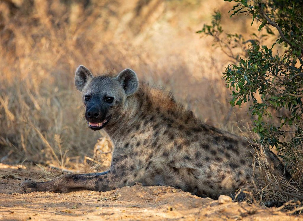 Hyena in Kruger National Park, South Afric