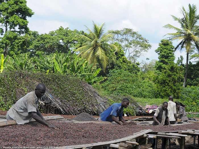 Récolte de Cacao