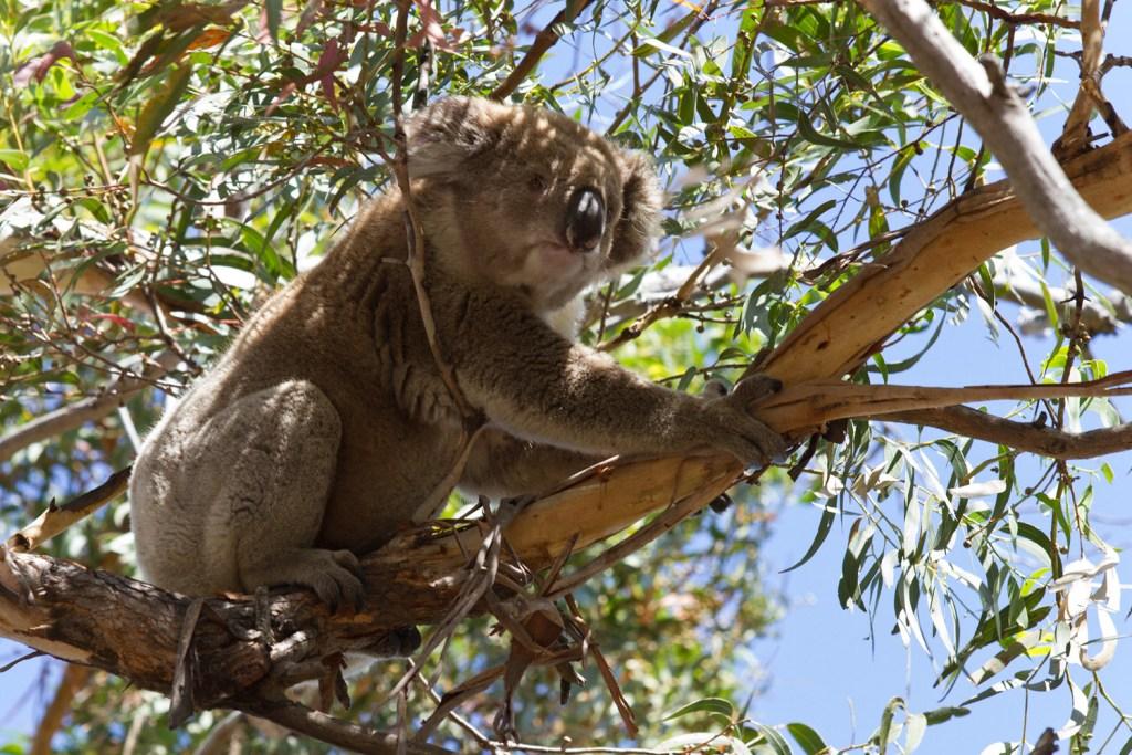 Raymond Island - Koala - 3