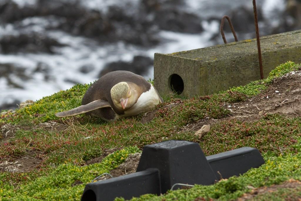 Katiki Point - Pingouin - 1