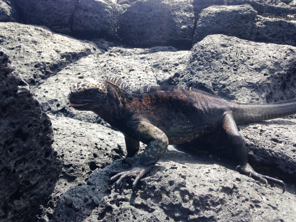 Marine iguana - swims and forages in the sea and roams the rocks on land. It sneezes frequently to expel salt from their bodies
