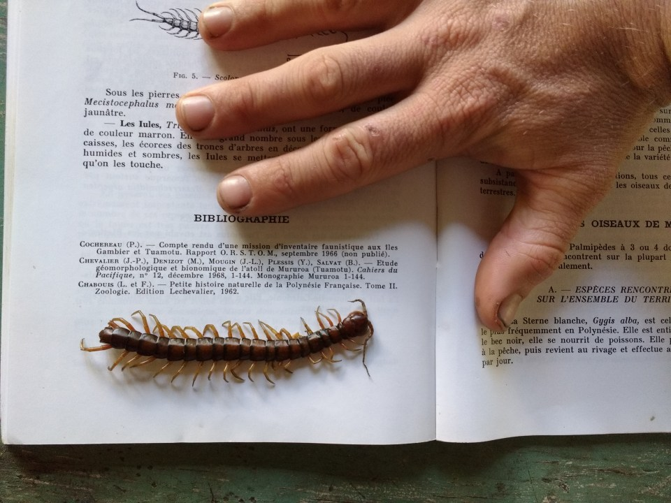 Another Taravai pest. These are centipedes and they have a nasty bite - they'll knock you out for about 6 hours. Our friend Piere was bitten on his hand recently. He nearly passed out and his hand was grossly swollen the next day. This one, fortunately, is dead :-)