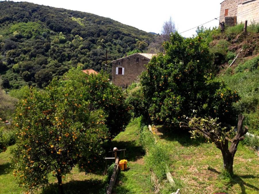 Orangers dans le jardin de la Villa Guidi - Pila-Canale, Corse