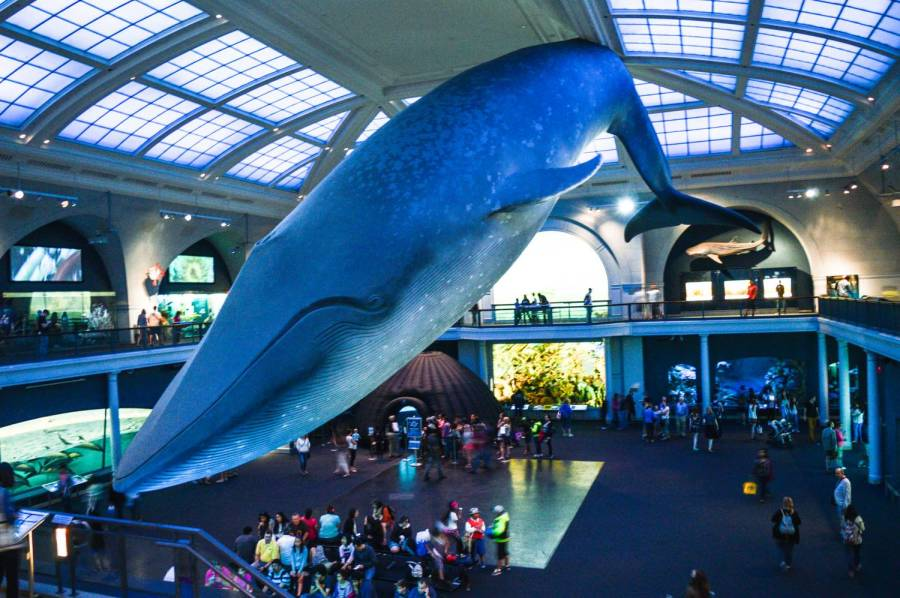 The big blue whale of the American Museum of Natural History - New York, United States