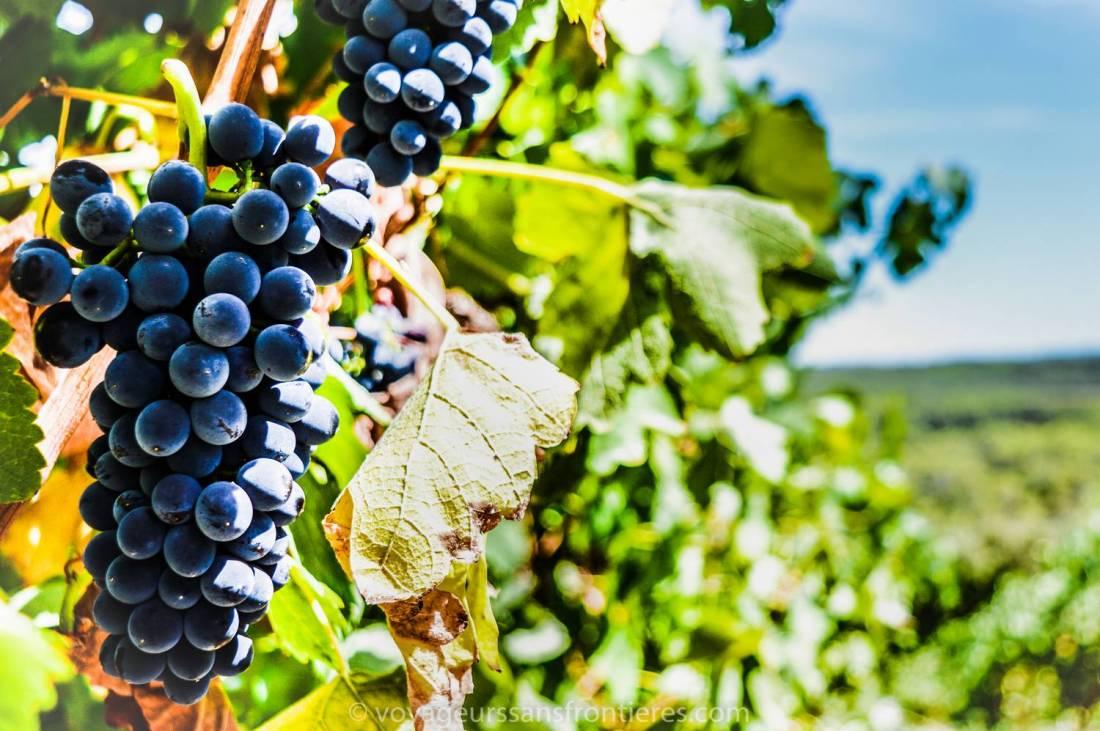 A beautiful grape during the Haut Lirou Wine Tour - Saint Jean de Cuculles, France