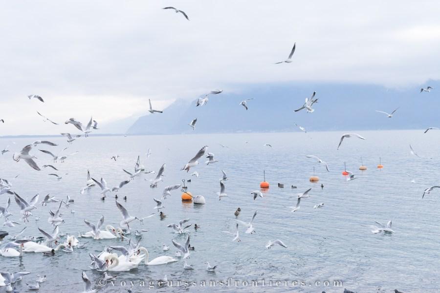 Mouettes au Lac Léman - Montreux Riviera, Suisse