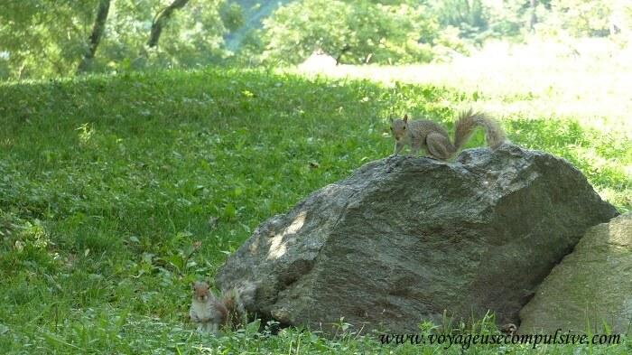 Deux écureuils de Central Park sur un gros rocher