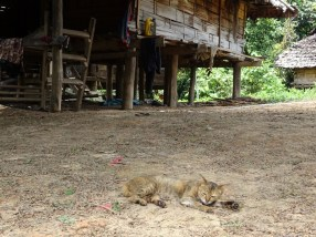 chat thaïlandais endormi