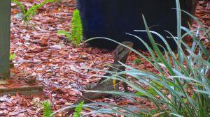 Una iguana en el jardín de un hogar.