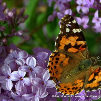 Lilac Butterfly by Jim O'Donnell @ VRAI Magazine