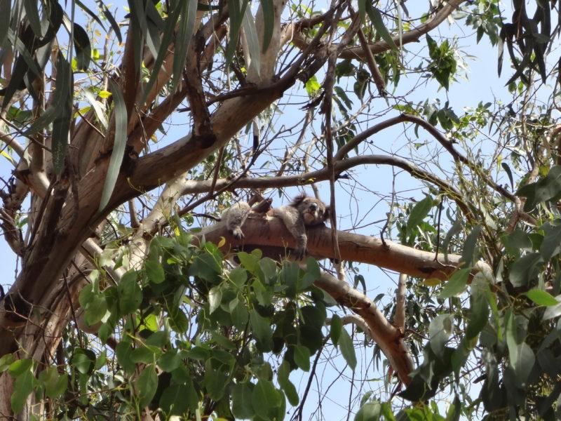 Koala slapend in boom