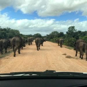 Buffalo's in Zuid-Afrika vanuit de auto