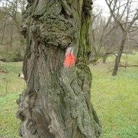 uschlý strom označený k pokácení