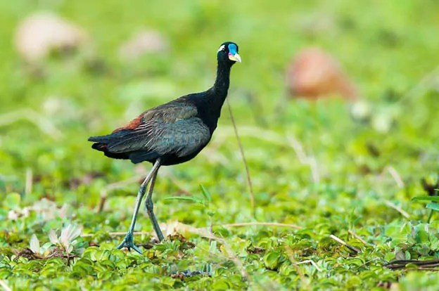 bronze-winged-jacana-metopidius-indicus-punchakkari-wetlands-trivandrum