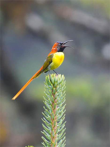 fire-tailed-sunbird-thrumshingla-bhutan