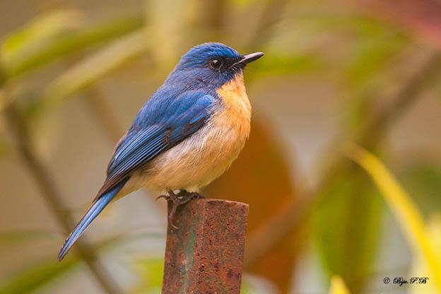 tickells-blue-flycatcher-sims-park-coonoor