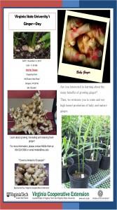 VSU Ginger Field Day Nov 14 page 1