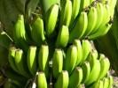 Так растут бананы
