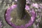 Миндальное дерево, с которого облетел цвет
