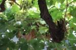 Виноград, из которого делают Херес