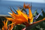Стрелиция - цветок Мадейры